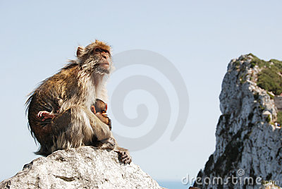 Mother Ape With Baby On Rock At Gibraltar