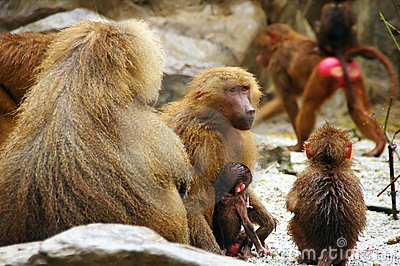 Mother Baboon