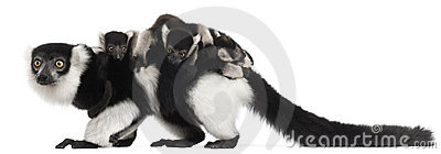 Mother and baby Black-and-white ruffed lemurs