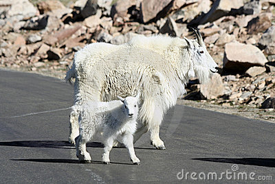 Mother and Baby Mountain Goat