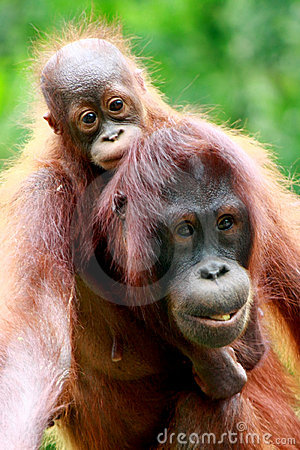 Mother and baby Orang utan
