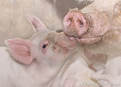 Mother and baby pig