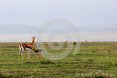 Mother and baby reedbuck