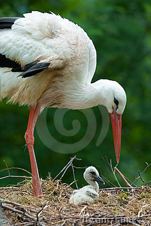 Mother and baby stork