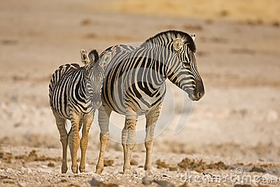 Mother and baby zebra standing in field