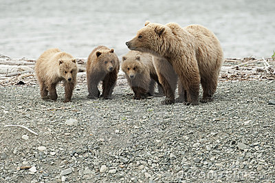 Mother bear with three cubs