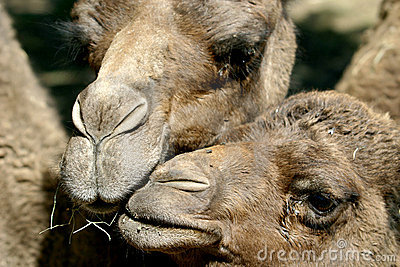 Mother and child dromedary