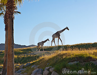 Mother and child giraffes against landscape