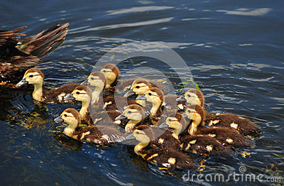 Mother and cute baby ducks