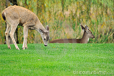 Mother deer and fawn in the field
