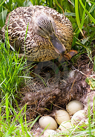 Mother-duck with eggs