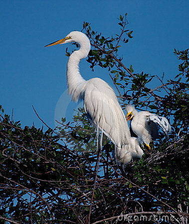 Mother egret with two offspring