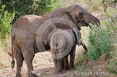The mother elephant
