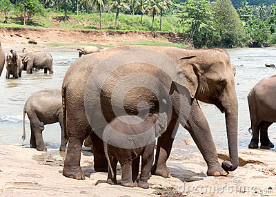 Mother elephant and baby
