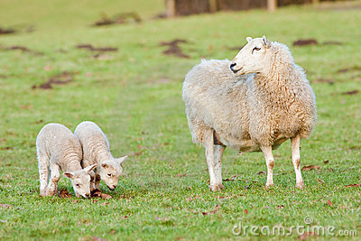 Mother Ewe Keeping a Watchful Eye on Her Lambs