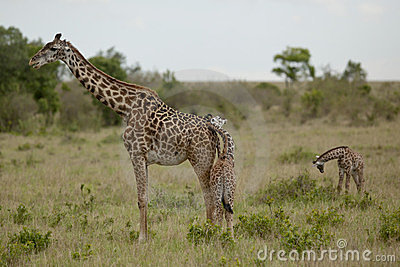 Mother giraffe and kid  in Kenya