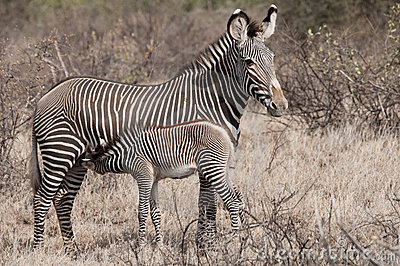 Mother Grevy s Zebra with her foal.