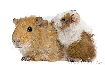 Mother Guinea Pig and her baby