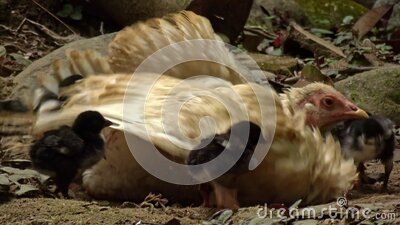 A mother hen takes a dust bath with her new born chicks around stock video