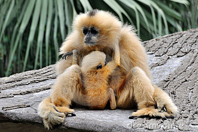 Mother and kid, Hoolock gibbon