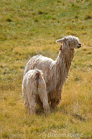 Mother Lama with a Baby on a grass
