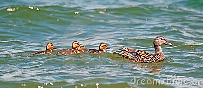 Mother mallard duck with ducklings.
