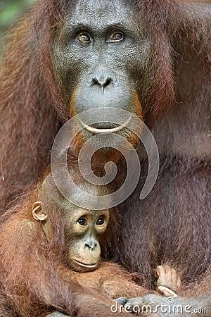 Free Mother Orangutan And Cub. Stock Photos - 88330573