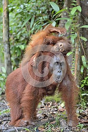 Free Mother Orangutan And Cub In A Natural Habitat. Bornean Orangutan Royalty Free Stock Images - 88324099