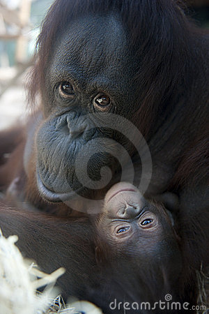 Free Mother Orangutan And Her Newborn Baby 1 Months - P Stock Photos - 9050893