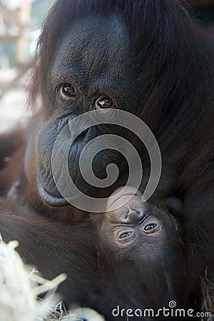 Mother Orangutan and her newborn baby 1 months - P