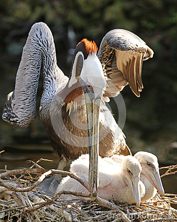 Free Mother Pelican Hovers Over Young Chicks Stock Image - 84421031