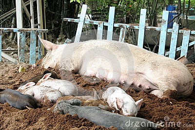 Mother pig and her sleep.