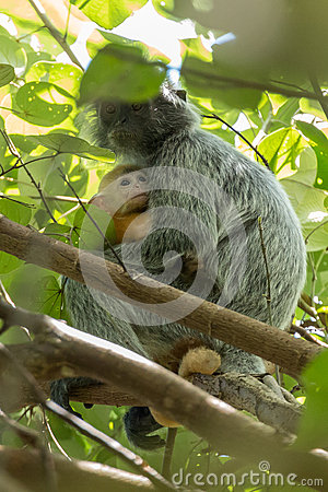 Free Mother Protecting Baby Silvery Lutung (Trachypithecus Cristatus) In Bako National Park, Borneo Royalty Free Stock Photography - 73334787
