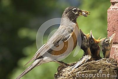 Mother Robin Feeding Babies