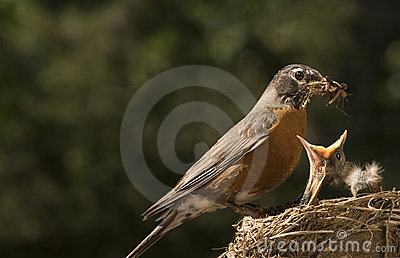 Mother Robin Feeding Baby