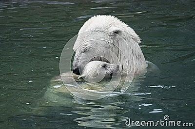 Mother s love. Polar bear with cub