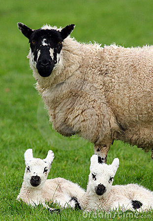 Free Mother Sheep And Twin Lambs Royalty Free Stock Photo - 457945