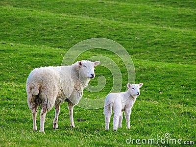 Sheep fetus - photo#26