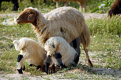 Mother  sheep and twins