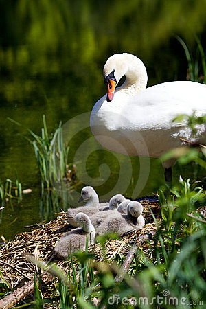 Free Mother Swan & Cygnets Royalty Free Stock Photo - 14282515