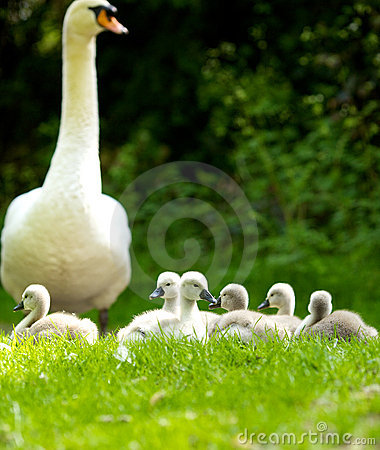 Free Mother Swan & Cygnets Stock Photography - 14502752