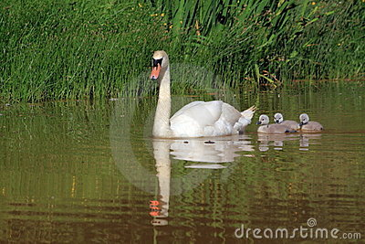 Mother swan with little babys