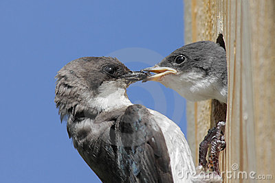 Mother Tree Swallow And Baby