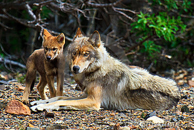 Mother Wolf & Her Cub, Denali National Park