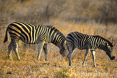 Mother and Young Burchell s Zebra