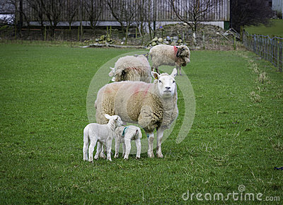 Mother and Young Sheep, England