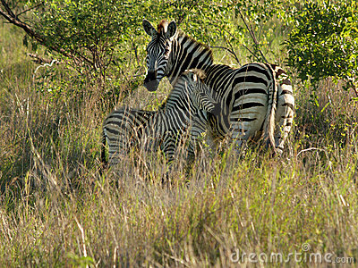 Mother zebra with young