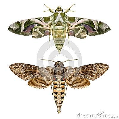 Free Moths Royalty Free Stock Photos - 64653998