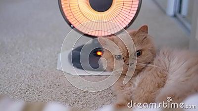 Motie van een perzische kat liggen en haar palm op de vloer schoonmaken stock videobeelden