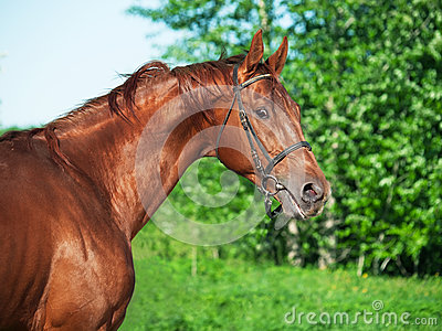 Motion portrait of chestnut Trakehner stallion